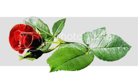 DIVIDER RED ROSE GREEN Pictures, Images and Photos