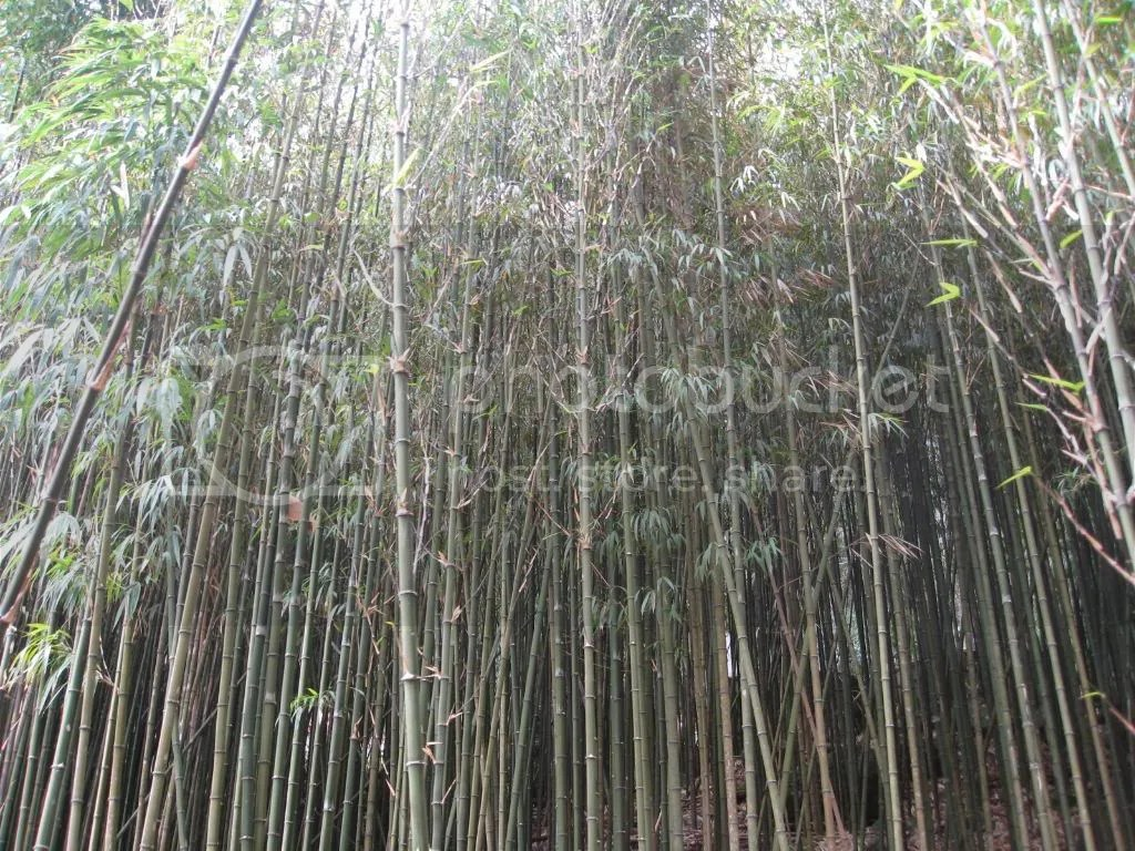 But not just normal bamboo, they were more square than round.