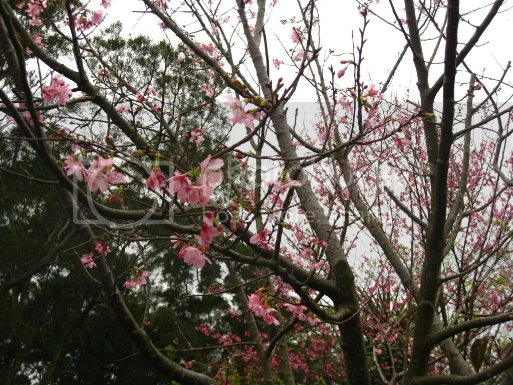More sakura!