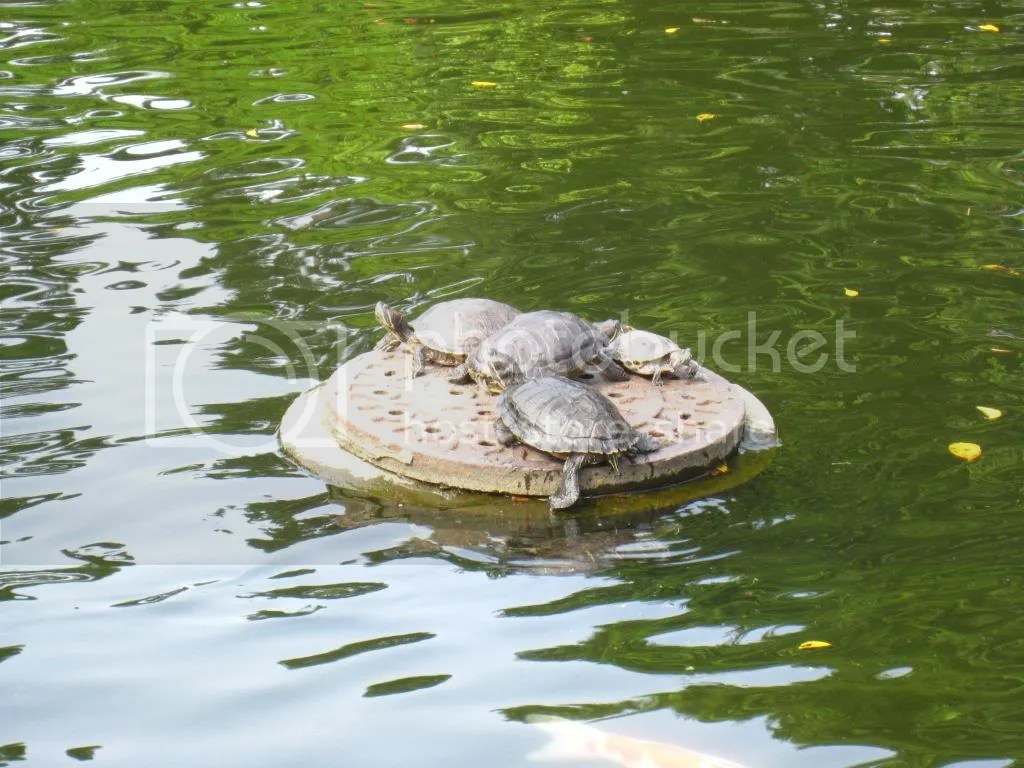 Turtles! On a sewage lid..? TEENAGE MUTANT NINJA TURTLES?!