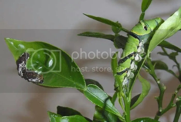 Caterpllar Camouflage
