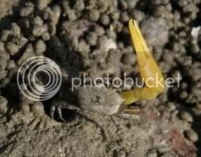 Fiddler Crab - waving claw