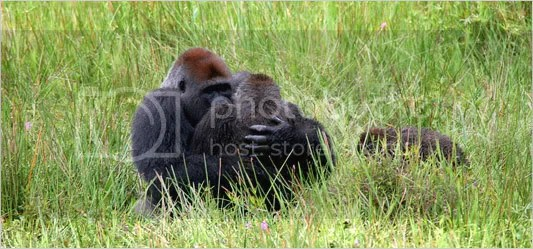 Gorillas Copulating