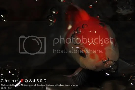 18Goldfish_resize.jpg picture by jade_ornament