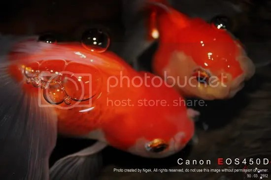 24Goldfish_resize.jpg picture by jade_ornament