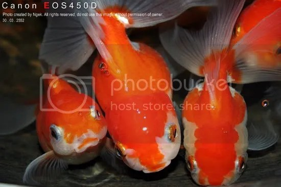 25Goldfish_resize.jpg picture by jade_ornament