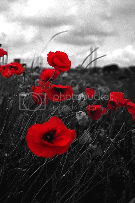 Picture1.png A Cold Poppy Day image by annika1904
