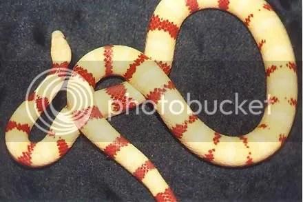 Albino King Snake