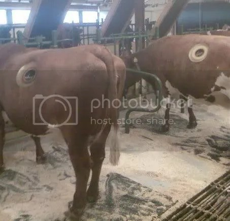 Vacas fistuladas