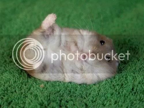 gambar ini bisa dipakai untuk iklan makanan hamster...