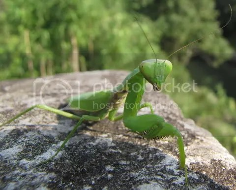 This praying mantis grabbed at my camera!