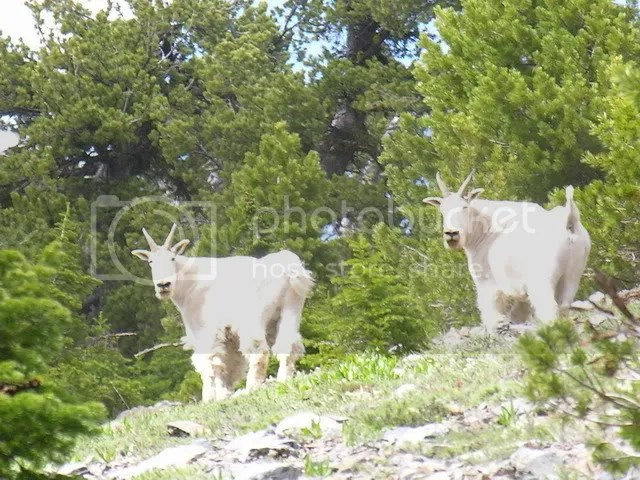 Mountain Goats on Elkhorn Crest Trail