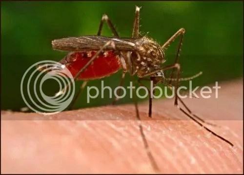 Mosquito bite
