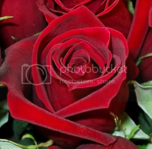 roses.jpg roses image by IULIA_013