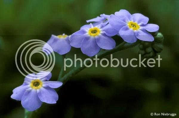 https://i2.wp.com/i195.photobucket.com/albums/z149/minh40/HoaTrongNhac/FORGET-ME-NOT-1__zpsb4d1175f.jpg