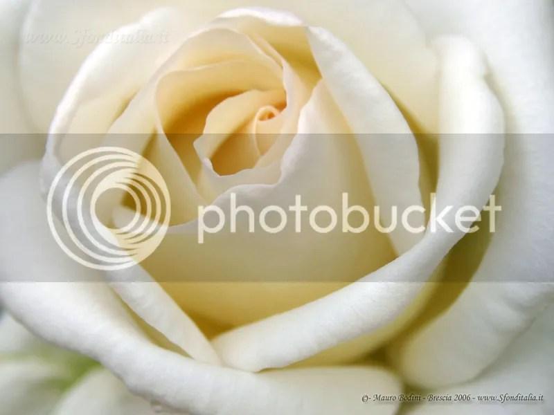 n_rosa_800.jpg rosa bianca image by redcrystal52