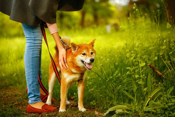Walking your dog on a slack leash is better than a tight one