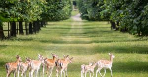 A whole herd of deer to be killed at a National Trust farm