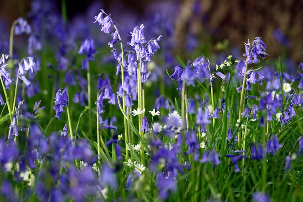 Virtual tour National Trust's Bodnant Garden. Pictured: Bluebells in the Old Park. Photo by Ian Cooper