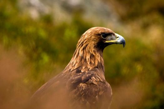 Golden Eagles have been extinct in Wales for almost 200 years