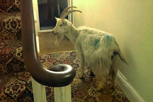 Caught in the act - Great Orme goat broke into Belle Vue House guesthouse in the middle of the night