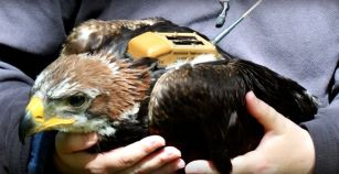 The young golden eagle, weighed down by the satellite tracking device