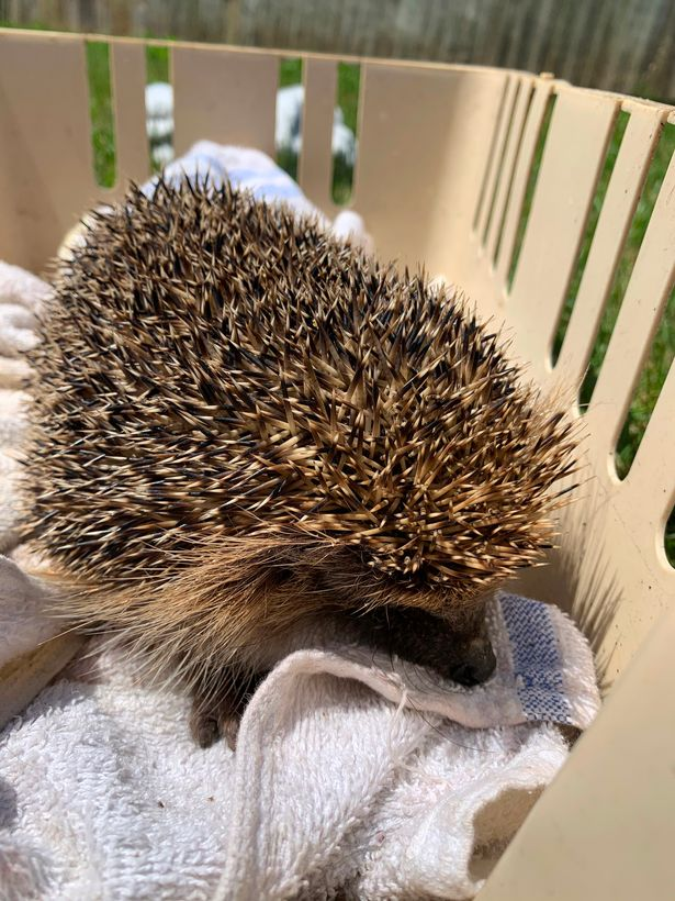 Hedgehog gave toddler fright of her life after biting her toe as she slept in bed