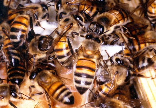A further beach inspection unearthed a large number of dead Cape honeybees