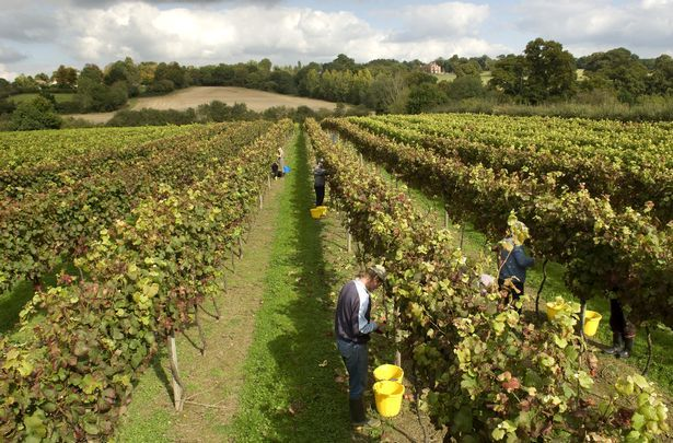 Six beautiful English vineyards you can visit - and cheap cottages nearby