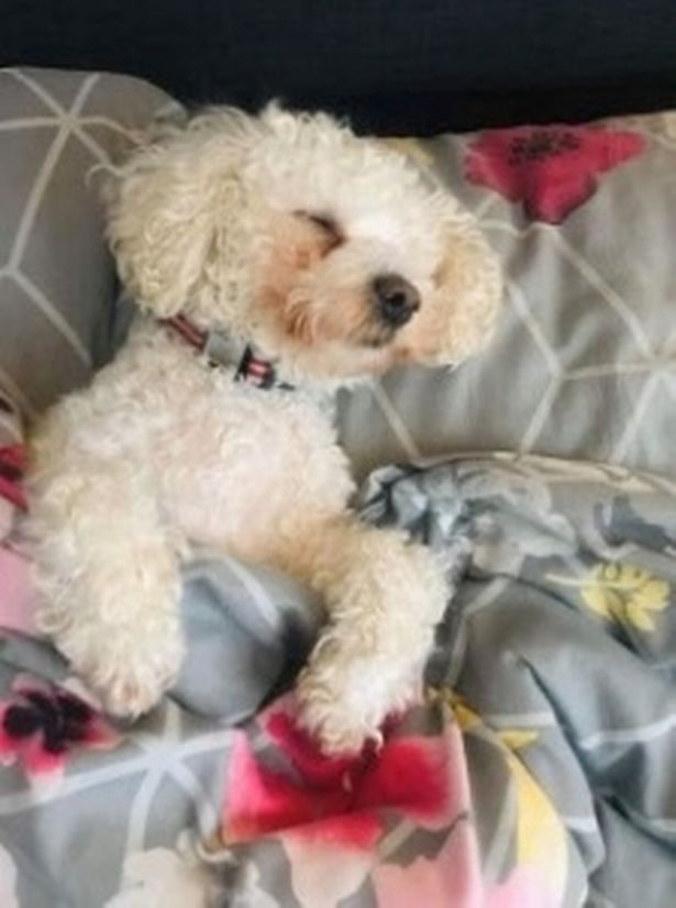 Poppy the Bichon Frise's owners suspect she might be half human!