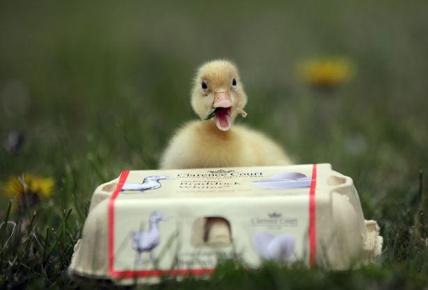 Cameron Williams put a Waitrose egg in an incubator and 28 days later a duckling hatched