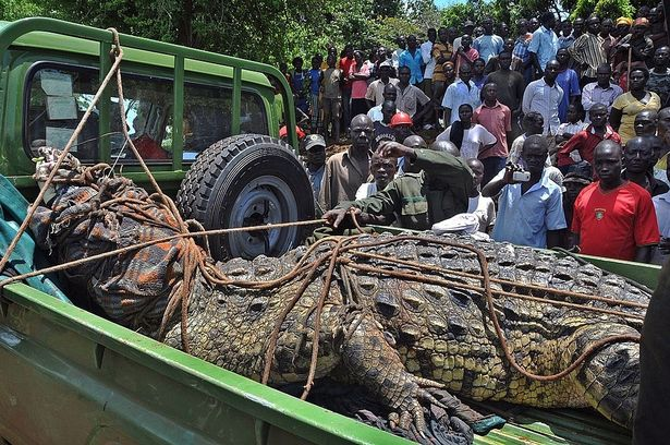 Captured crocodile