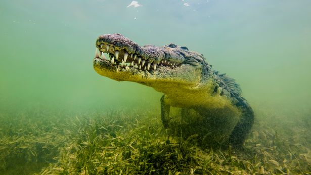 Crocodiles latch on to victims with their jaws and then roll to attempt to subdue them