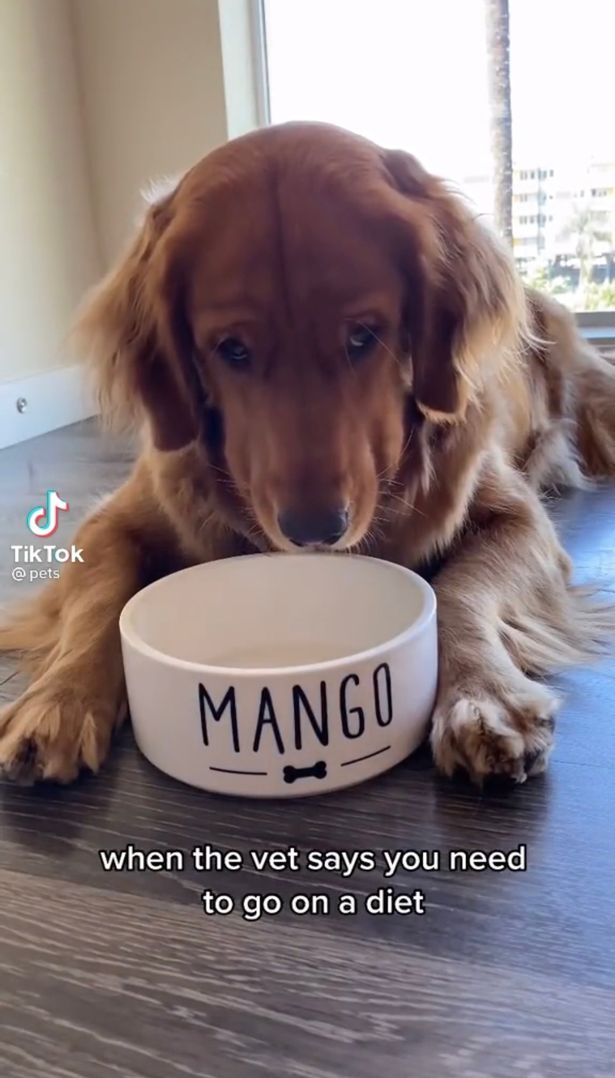 The golden retriever was confused when she realised no more food was coming