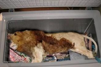 Afbeeldingsresultaat voor lion in freezer