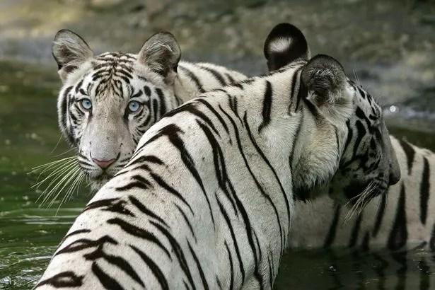 https://i2.wp.com/i2-prod.mirror.co.uk/incoming/article4307769.ece/ALTERNATES/s615b/White-Tigers-in-New-Delhi-in-2007.jpg?w=1060&ssl=1