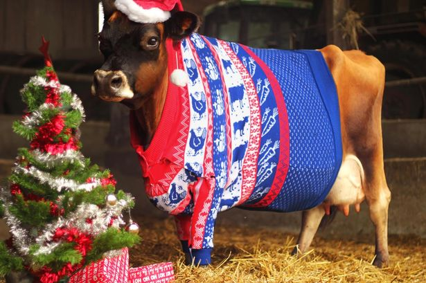 Merry Christ Moos Yes That Is A Cow In A Christmas