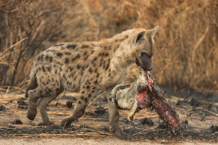 A triumphant spotted hyena parading a decapitated lion's head like a trophy