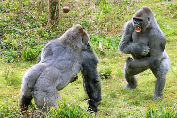 https://i2.wp.com/i2-prod.mirror.co.uk/incoming/article7520868.ece/ALTERNATES/s615b/These-burly-gorillas-REALLY-love-their-veg-The-two-Western-lowland-gorillas-almost-came-to-blows-over-a-jacket-potato.jpg?w=736&ssl=1