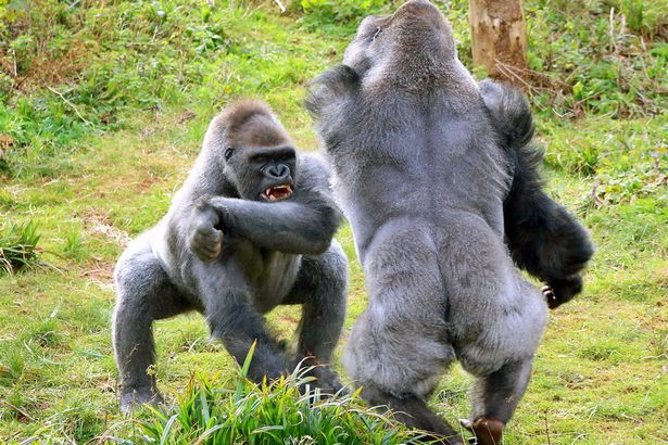 https://i2.wp.com/i2-prod.mirror.co.uk/incoming/article7520870.ece/ALTERNATES/s615b/These-burly-gorillas-REALLY-love-their-veg-The-two-Western-lowland-gorillas-almost-came-to-blows-over-a-jacket-potato.jpg?w=736&ssl=1