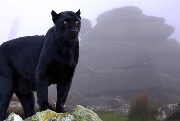 Image result for beaST OF BODMIN MOOR