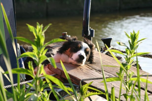 Border Collies are highly-intelligent dogs
