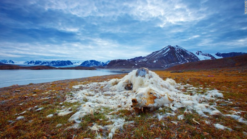 "Photo: Vadim Balakin, Russia: ""These polar bear remains have been discovered at one of the islands of Northern Svalbard, Norway. While it is not certain whether the polar bear died from starvation or old age, the good condition of its teeth indicate that it is most likely from starvation,"" wrote Balakin."