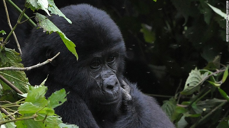 The UNESCO-certified Bwindi National Park contains the world's largest population of endangered mountain gorillas.