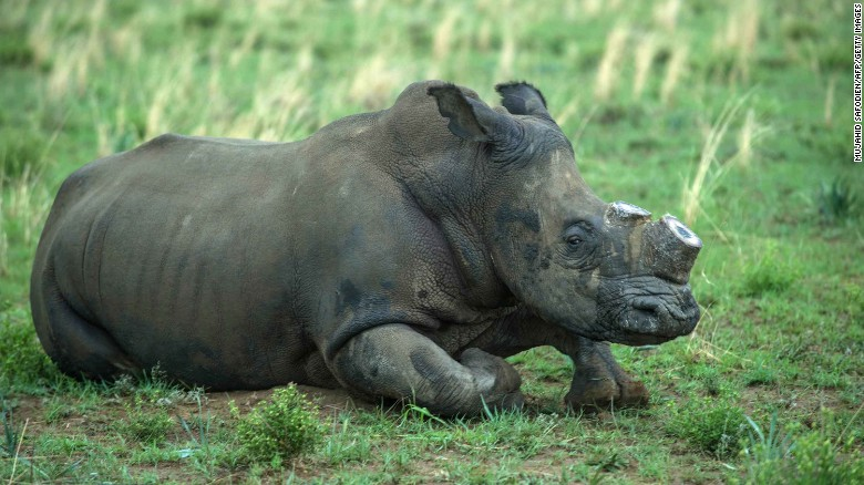 A de-horned rhino slowly wakes up after his horn was trimmed at one of Hume's ranches in 2016.