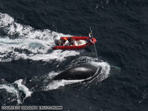 Researchers try to free a right whale from fishing rope. Five whales have been helped this year.