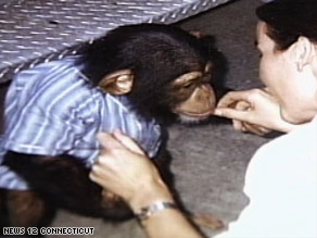 Travis, seen here as a younger chimp, was fatally shoy by police after attacking Nash, authorities say.