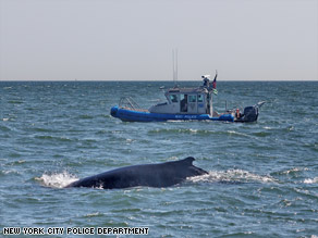 The humpback travels south Thursday between Sandy Hook and Breezy Point off New York.