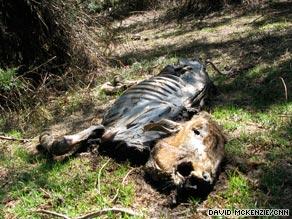 Hundreds of dead cattle litter the slopes of Mount Kenya, fatally weakened by long treks to the region.