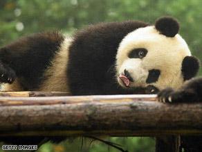 A panda cub at the Giant Panda Breeding Centre in Chengdu last week.